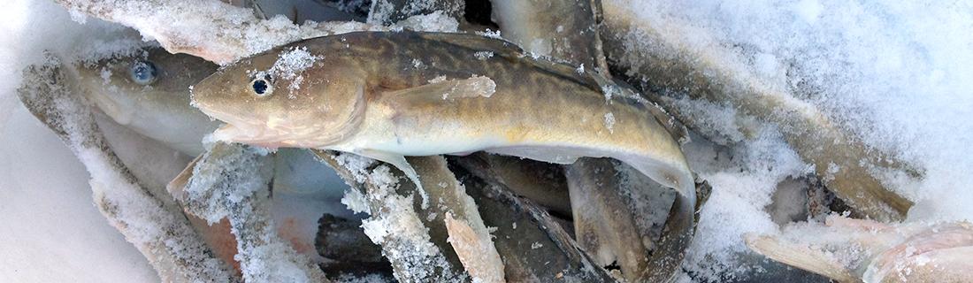 Petit poulamon sur un monticule de poissons gelés